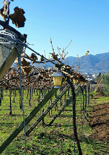 Grace Winery uses vertical shot positioning to take advantage of sunshine and to maximise the air flow