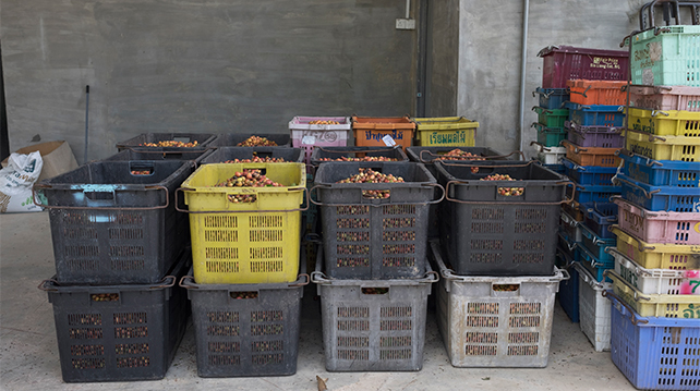Coffee cherries sorting