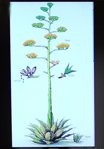 Mezcal plant
