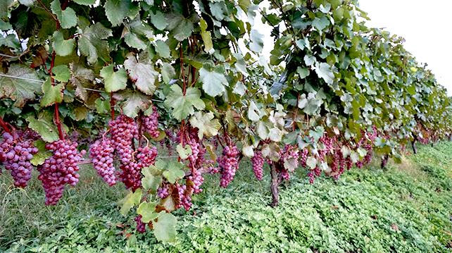 Koshu wine from Japan